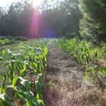 New_corn