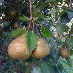 Kieffer_pears