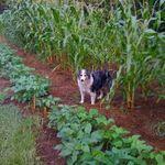 Django_in_the_corn