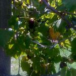 New_grapes