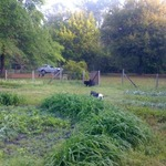 Herb_garden_and_dogs