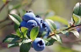 blueberry_bush.jpg