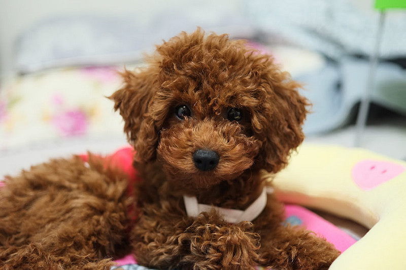 Poodle puppy in bed