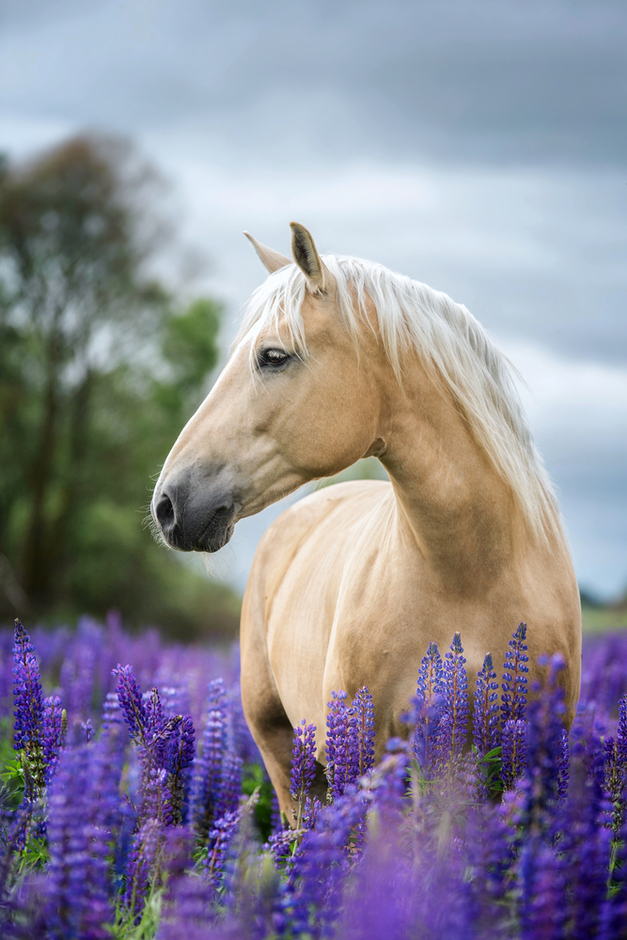 Palomino horse standing in lavender