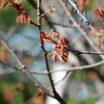 Oak buds