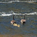 Goslings
