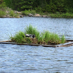 Loon on Nest