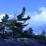 Windswept Pines