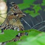 Ruffed Grouse - May 23