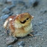 Baby Ruffed Grouse - May 23