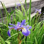 Iris - June 4