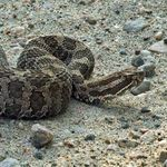 Massasauga Rattlesnake