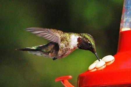 Humming Bird - male