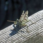 Grasshopper on the dock