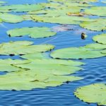 Huge Lilly Pads