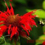 Wildflower Bumblebee