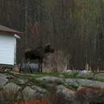 Moose - Camp MacIntosh - French River