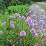 Chives