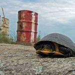Midland Painted Turtle (2)