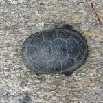 Midland Painted Turtle