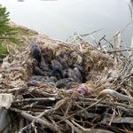 Four baby ravens