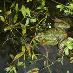 No pond is complete without a Bullfrog