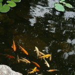 Ponds are filled with Koi & goldfish