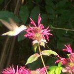 Hummingbird_in_back_yard