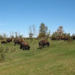 Where the Buffalo Now Roam