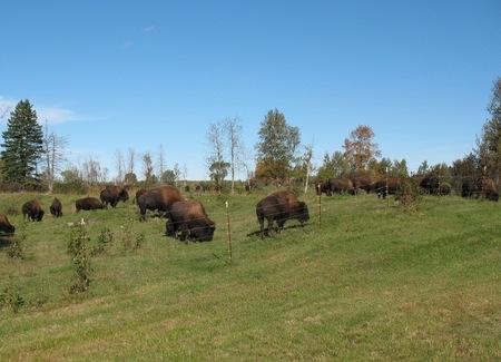 Where the Buffalo Now Roam