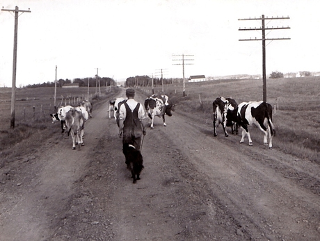 Heading Home for Milking Time