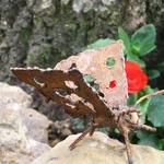mariposa de jardin