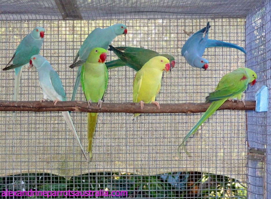 Alexandrine Parrots Australia