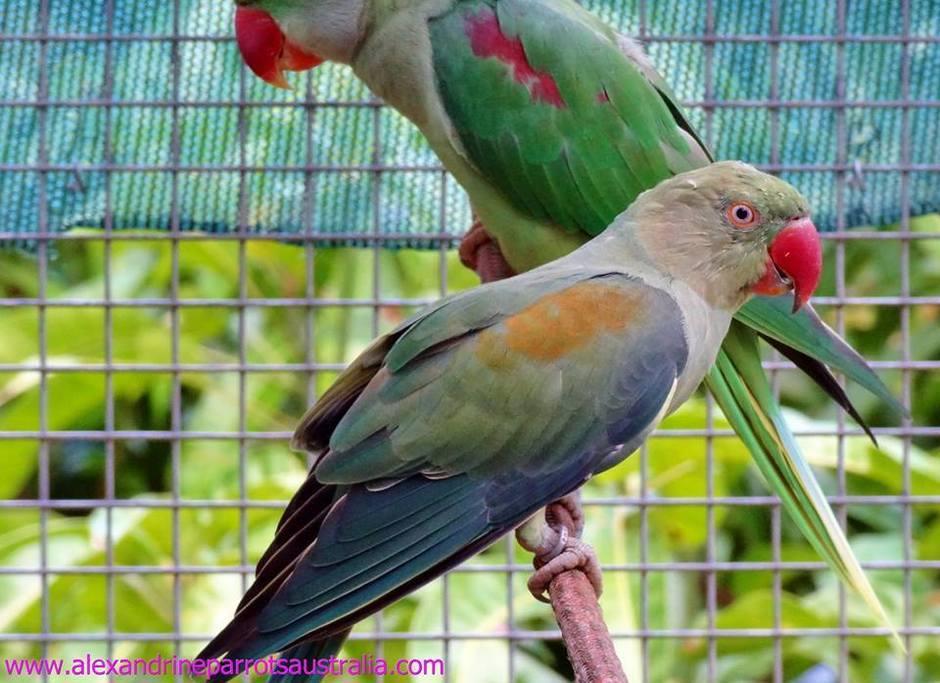 Alexandrine parrot mutations