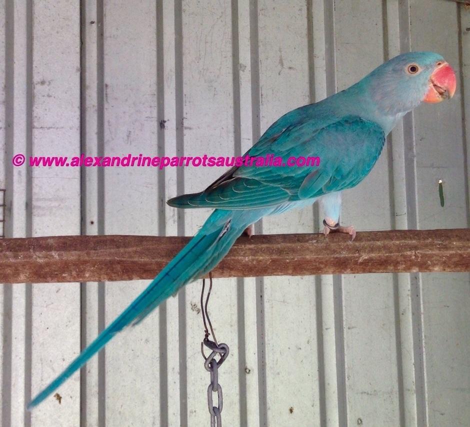 Blue Alexandrine Hen