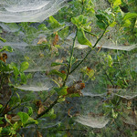 Spider webs in Tropics
