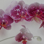 Orchids in Double Exposure
