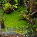 Pond in Big Cypress Swamp