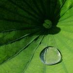 Lotus pad and dew