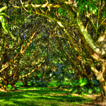 The AMango Grove