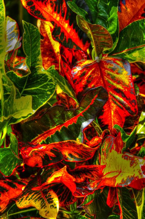 Florida Croton