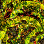 Crotons in Abstract