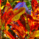 Crotons with a Touch of Blue.