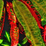 Croton Leafs