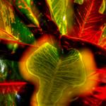 Croton Closeup.