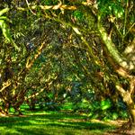 The Mango Grove