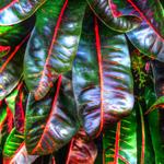 Croton Kaleidoscope