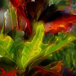 Dreamy Croton Plant