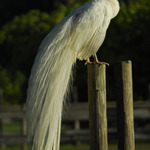 White Peacock Drying Feather