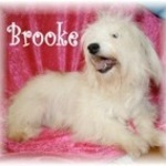 Brooke - 6 year old Havanese - I'M ADOPTED!